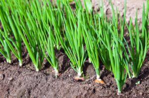 Посев пеларгонии на рассаду:  когда сеять семена и как правильно выращивать герань в домашних условиях?