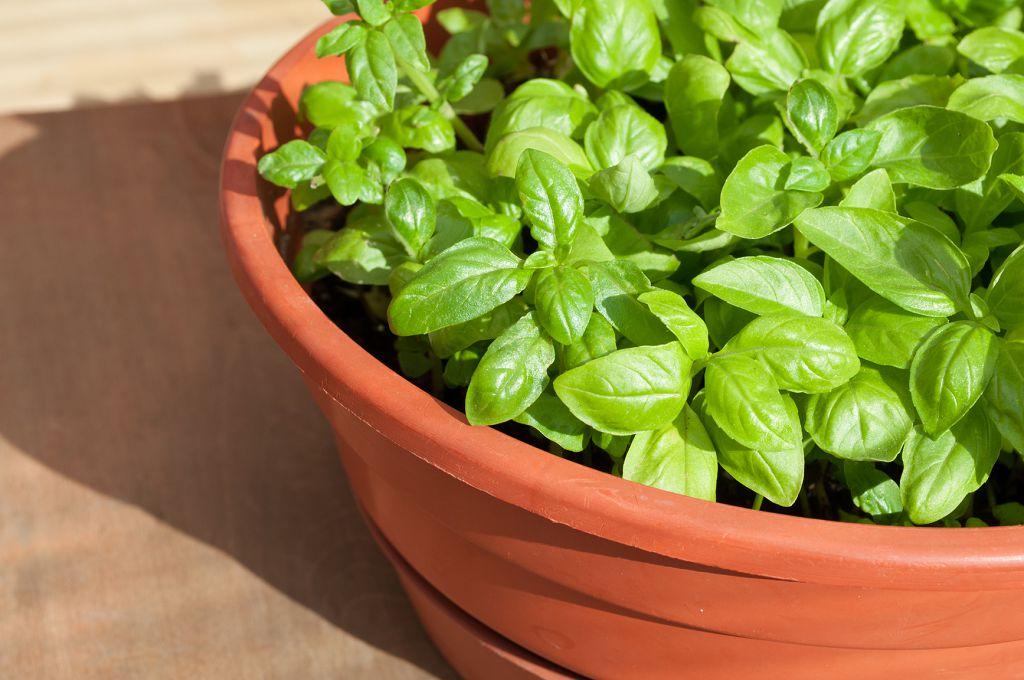 как посадить базилик в открытый грунт семенами