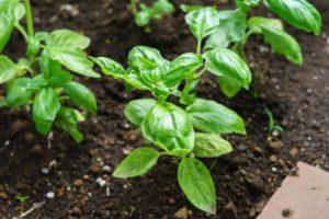 Почва для выращивания базилика в горшке