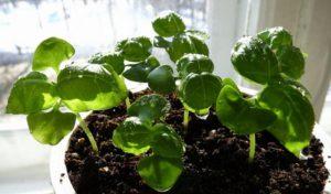Выращивание базилика на подоконнике