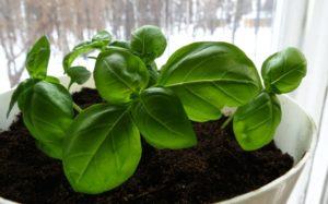 Выращивание базилика зимой