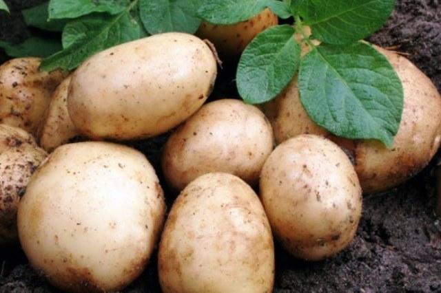 Уборка картофеля сроки