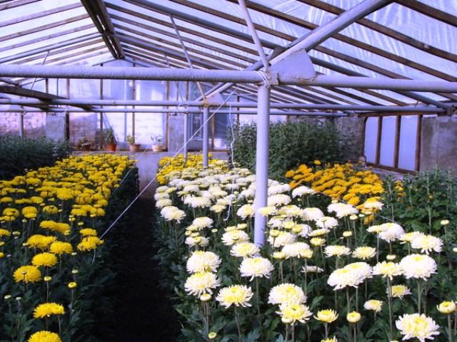 Нужно ли обрезать хризантемы осенью
