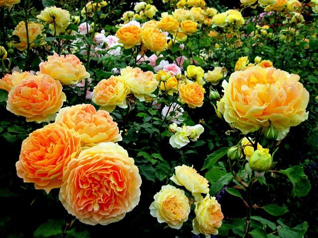 Осенняя обрезка роз и укрытие на зиму
