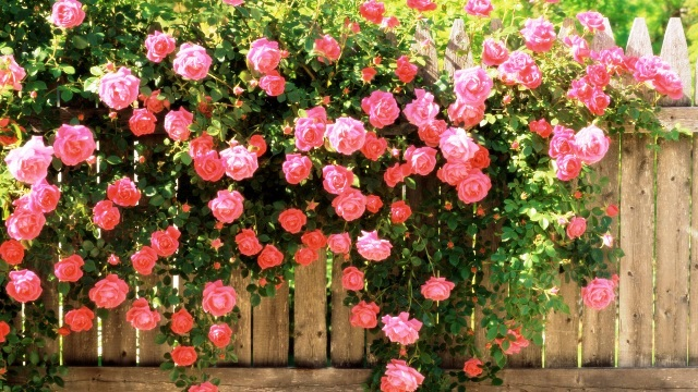 Обрезка роз осенью в саду