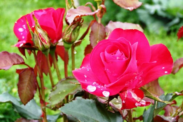 Обрезка роз осенью: как и когда