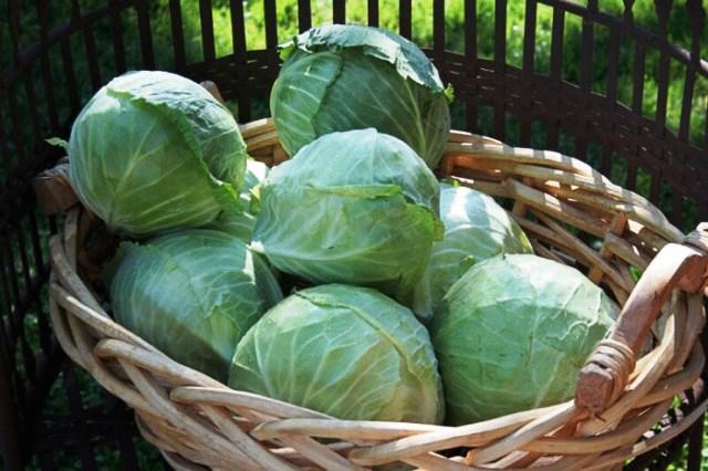 Когда рубить капусту на зиму. Когда рубить позднюю капусту – до или после заморозка?