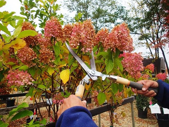 Что делать с гортензией осенью после цветения