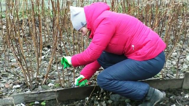 Подготовка малины к зиме в сибири