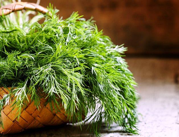 Выращивание укропа на подоконнике: как вырастить, когда сеять, уход