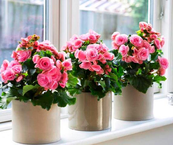 Бегония Элатиор: уход и выращивание в домашних условиях