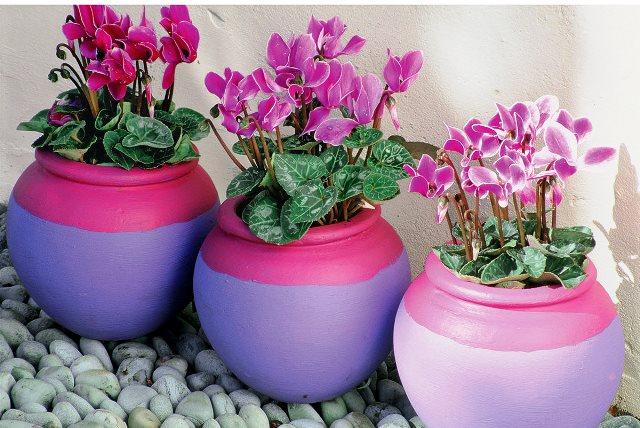 Цикламен: выращивание и уход в домашних условиях