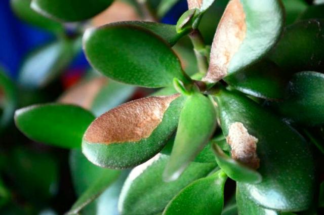 Как выращивать денежное дерево в домашних?