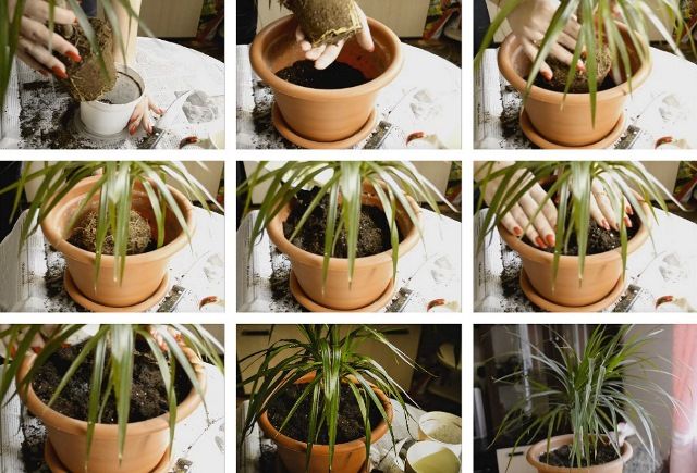 Драцена — виды, условия выращивания и уход в домашних условиях