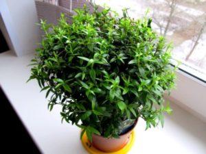 Как выращивать базилик в теплице