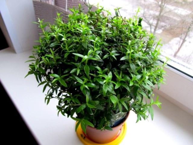 Мирт (миртовое дерево) уход и выращивание в домашних условиях