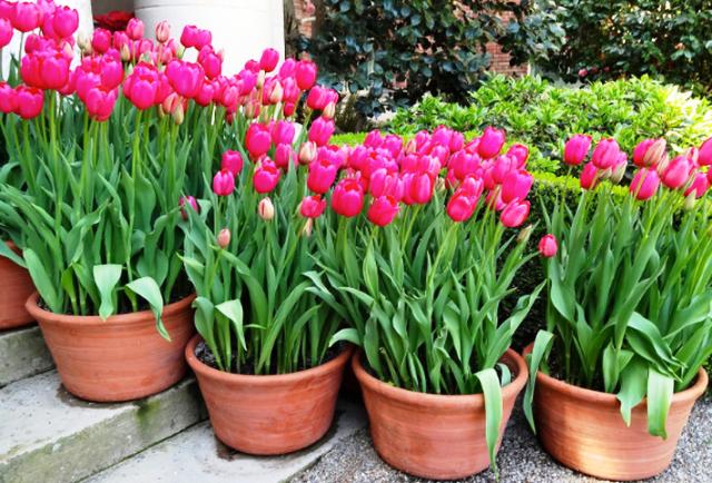 Семена тюльпанов 15 фото как выглядят семена и как их правильно сажать Когда сеять семена тюльпанов на рассаду