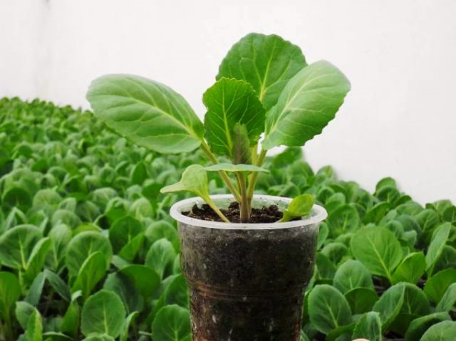 Как посадить капусту на рассаду правильно