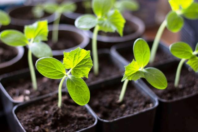 Когда сеять огурцы на рассаду в 2020 году: сроки посадки