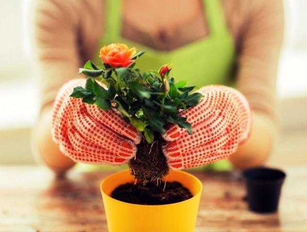 Пересадка комнатных растений в 2020 году: календарь