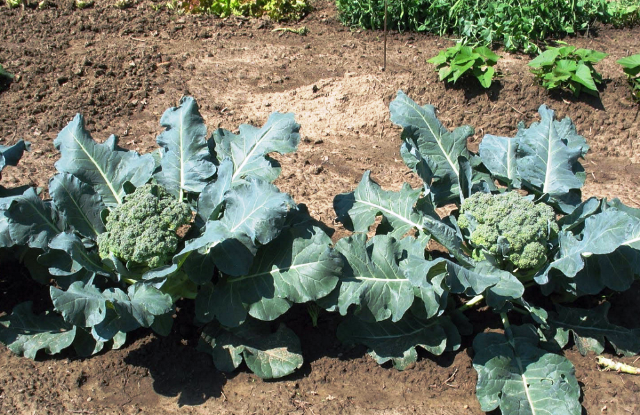 Как вырастить брокколи на огороде  подробная инструкция