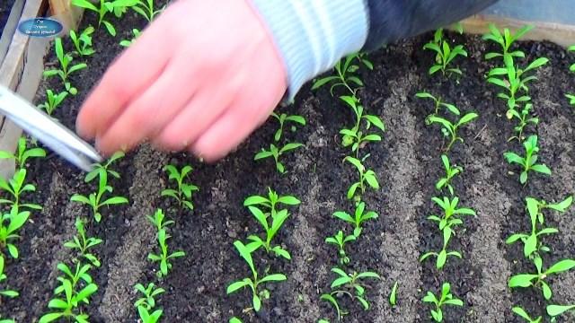 Посадка гвоздики Шабо в 2020 году: сроки, выращивание и уход