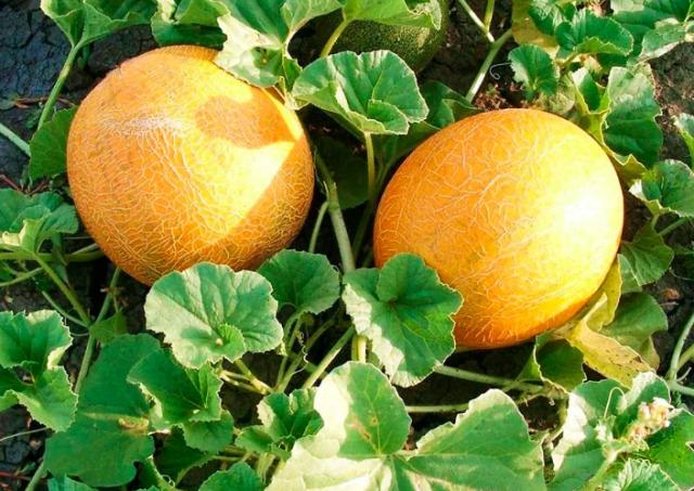 Дыня выращивание и уход