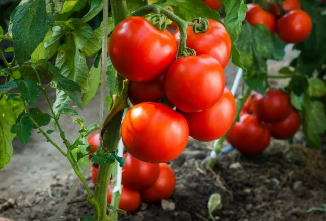 Благоприятные дни для посева помидор в 2020 году