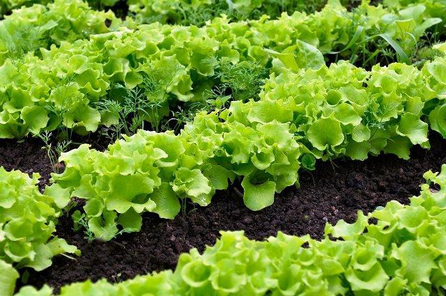 posadka-salata2.jpg