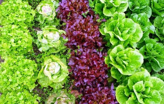 Лучшие сорта салата: посадка и уход