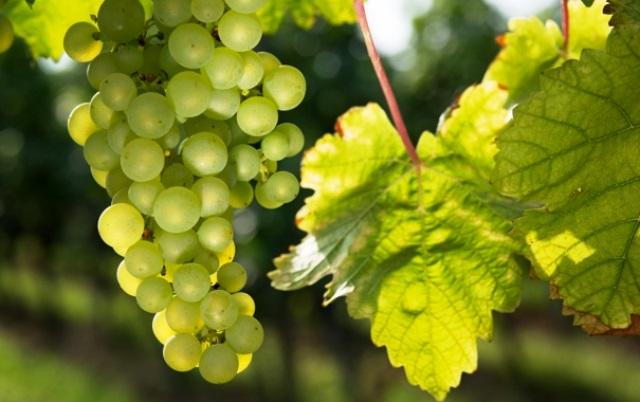 Обработка саженцев винограда перед посадкой