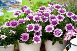 Сальвия многолетняя: фото цветов, посев, уход