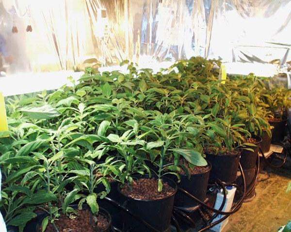 Сальвия: фото цветов — когда и как сажать рассаду