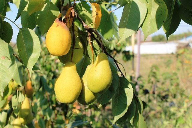 Посадка груши в 2020 году: благоприятные дни, выращивание и уход