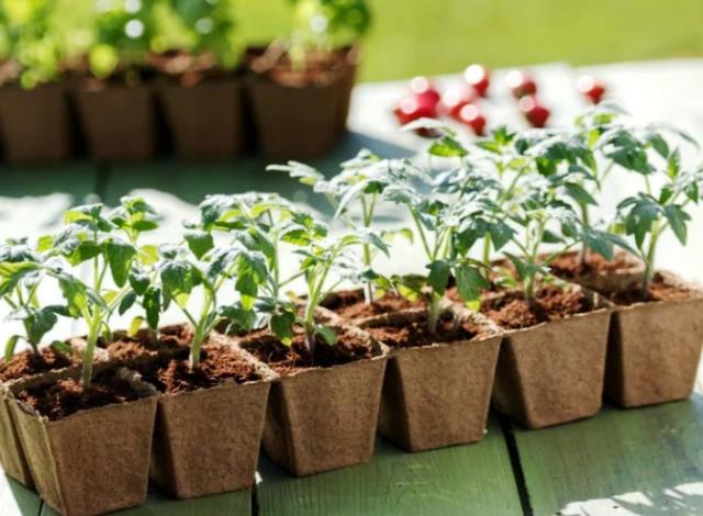 прищипывание рассады помидоров
