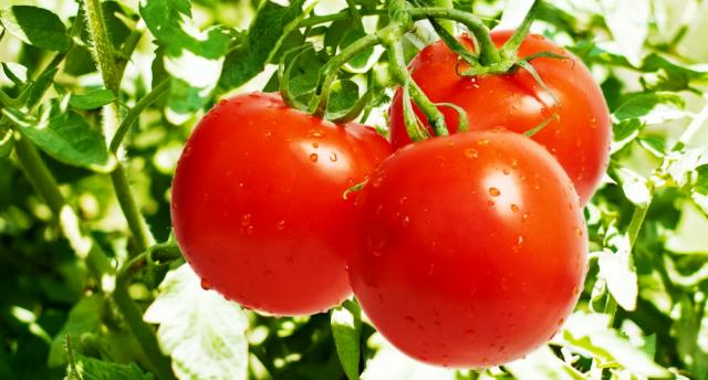 Когда пикируют томаты