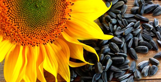 Семена подсолнечника: выращивание и хранение — Cельхозпортал