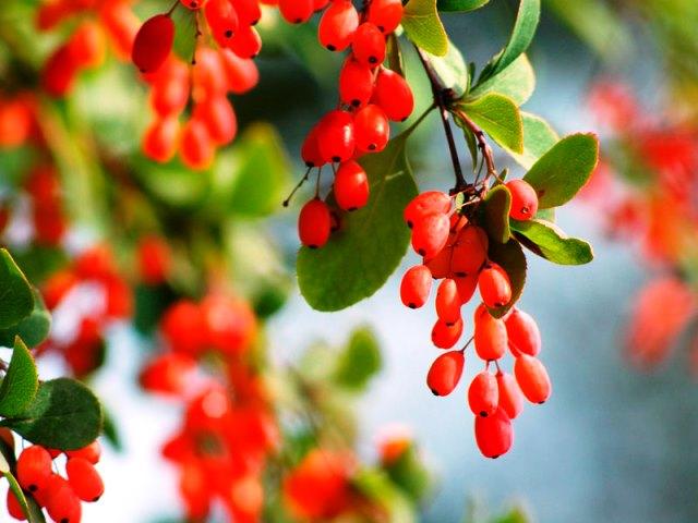 Барбарис: особенности выращивание, посадка, уход, борьба с вредителями