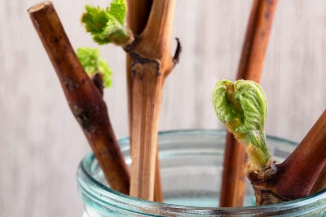 Как посадить ветку винограда