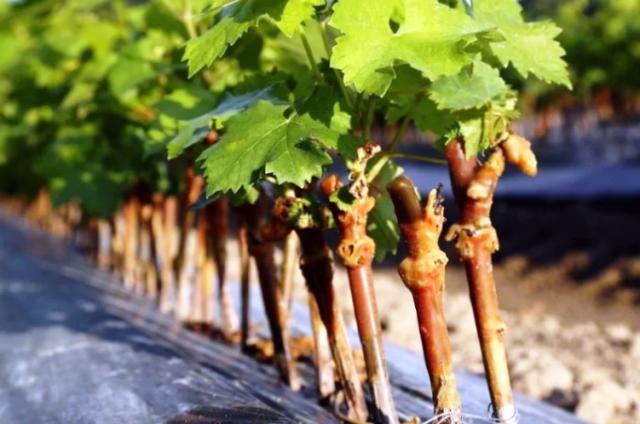 Как вырастить лозу винограда в домашних условиях