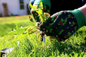 Денежное дерево (Толстянка) - выращивание, уход, обрезка