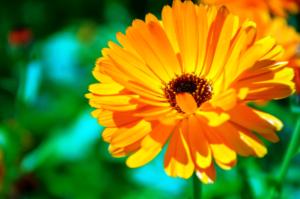 Лаванда: выращивание в горшке, уход в домашних условиях