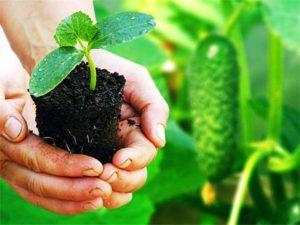 Тыква: выращивание и уход в открытом грунте с видео