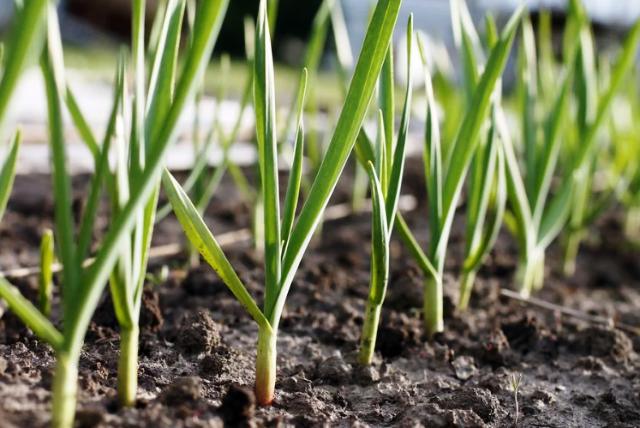 Чем подкормить озимый чеснок весной