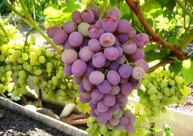 Посадка винограда саженцами и уход в первый год