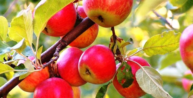 Как ухаживать за яблонями и грушами