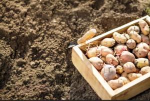 Посадка и уход за гиацинтами в открытом грунте 49 фото как сажать восточный и аметистовый гиацинты Выращивание травянистых растений и их посадка осенью