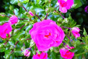 Многолетние тюльпаны посадка и уход сортов