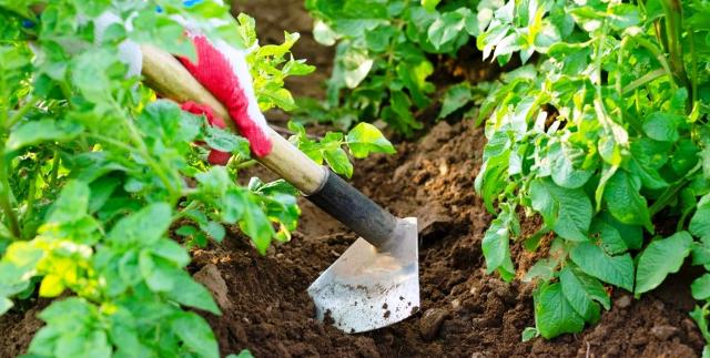 Окучивание картофеля: сроки, как правильно, способы
