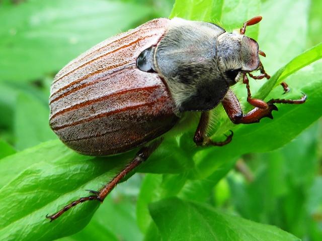 Борьба с хрущем и его личинками: как избавится от майского жука, эффективные средства